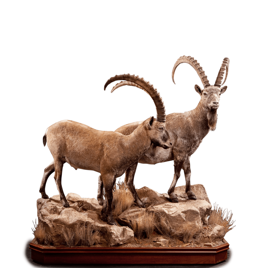 two life size ibex taxidermy