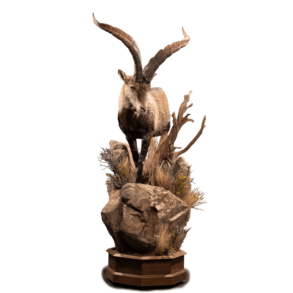 ibex life size taxidermy