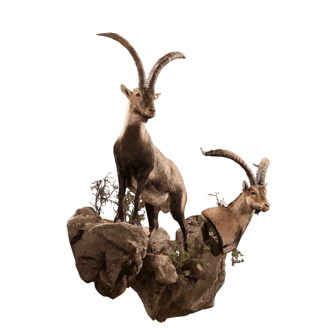 two ibex taxidermy