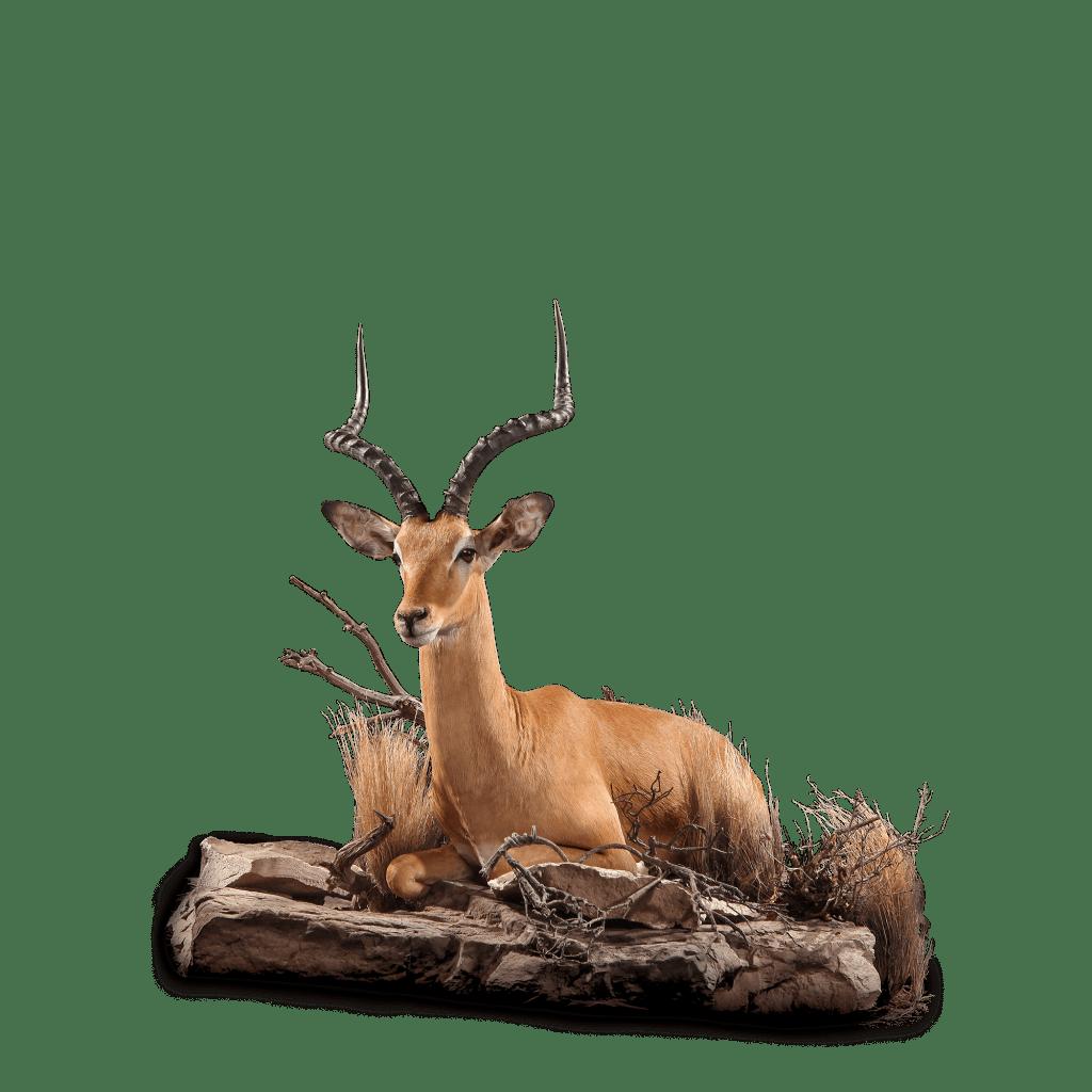 lounging impala taxidermy