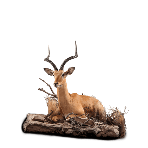lounging impala taxidermy