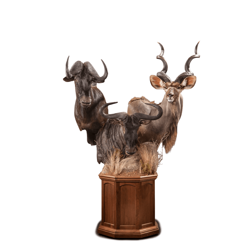 kudu and wildebeests taxidermy
