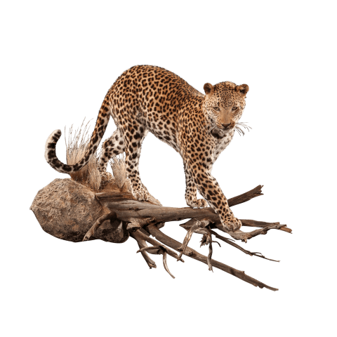 prowling leopard pose
