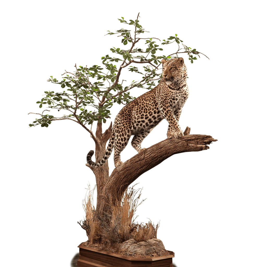 hunting leopard in a tree mount