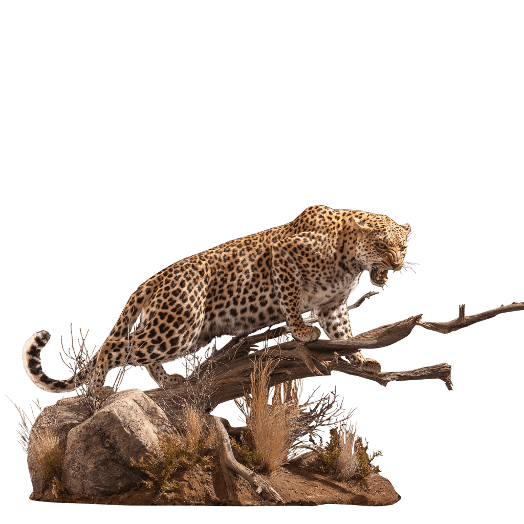 growling leopard taxidermy mount