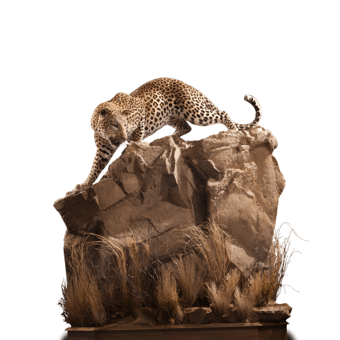 hunting leopard taxidermy mount