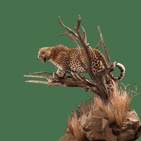 growling leopard taxidermy mount