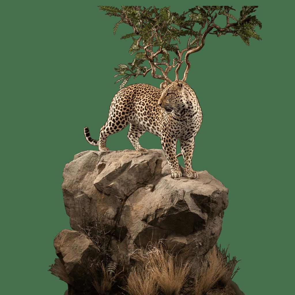 leopard on rocks mount