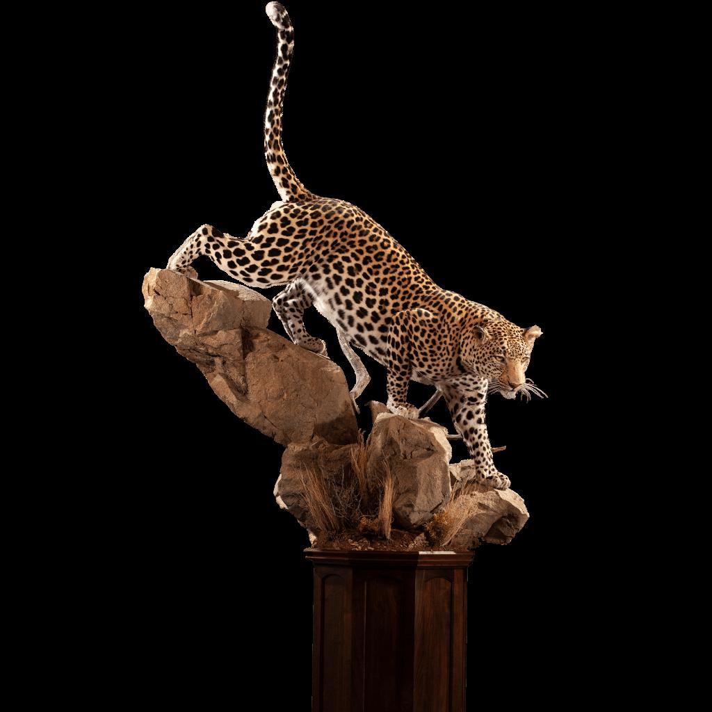leopard on rocks taxidermy