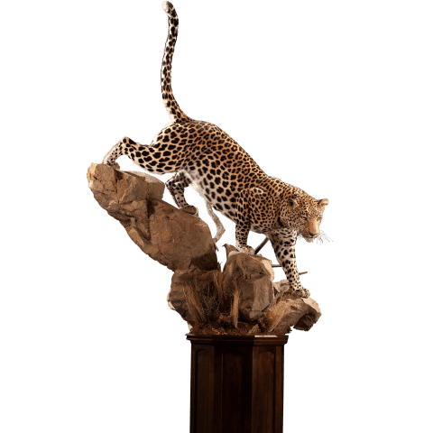 leopard on rocks taxidermy