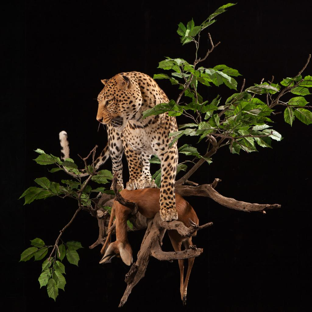 Leopard taxidermy front view