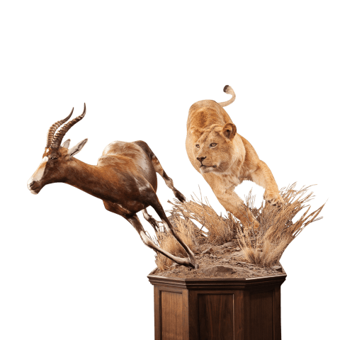 lion hunting blesbok taxidermy