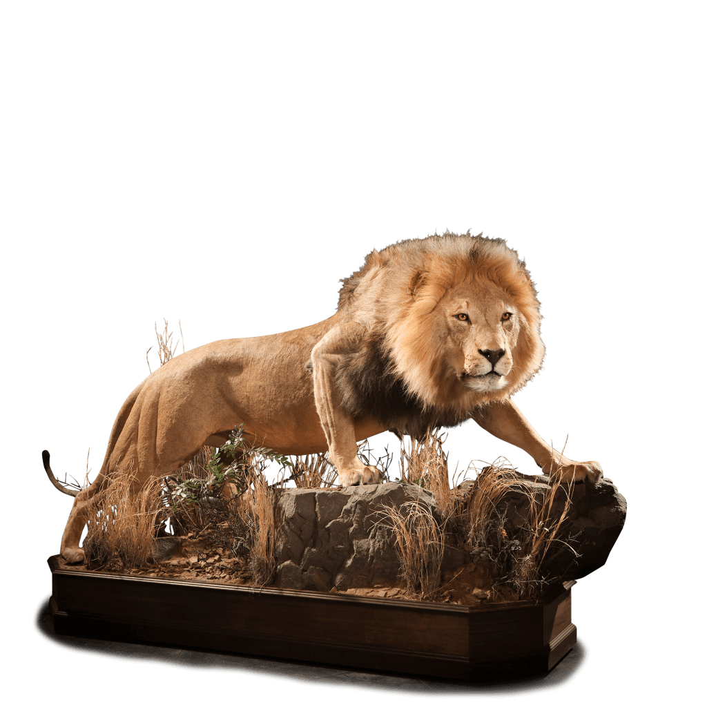 full size lion prowling taxidermy