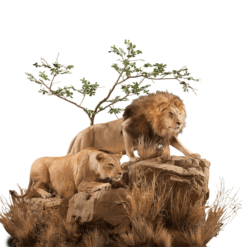 two prowling lions on rock mount