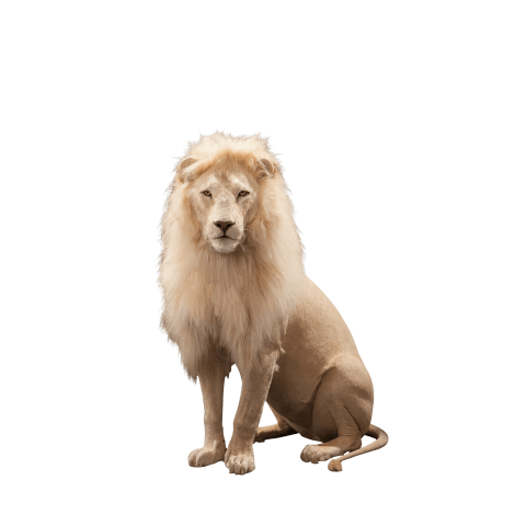 full size sitting lion taxidermy