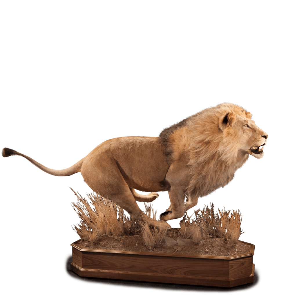 running lion taxidermy pose
