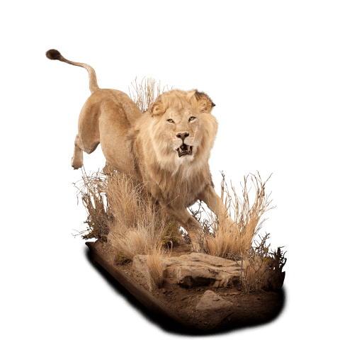 running lion taxidermy mount