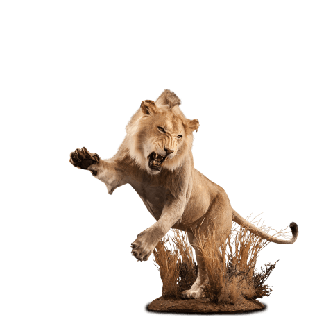 life size attacking lion mount