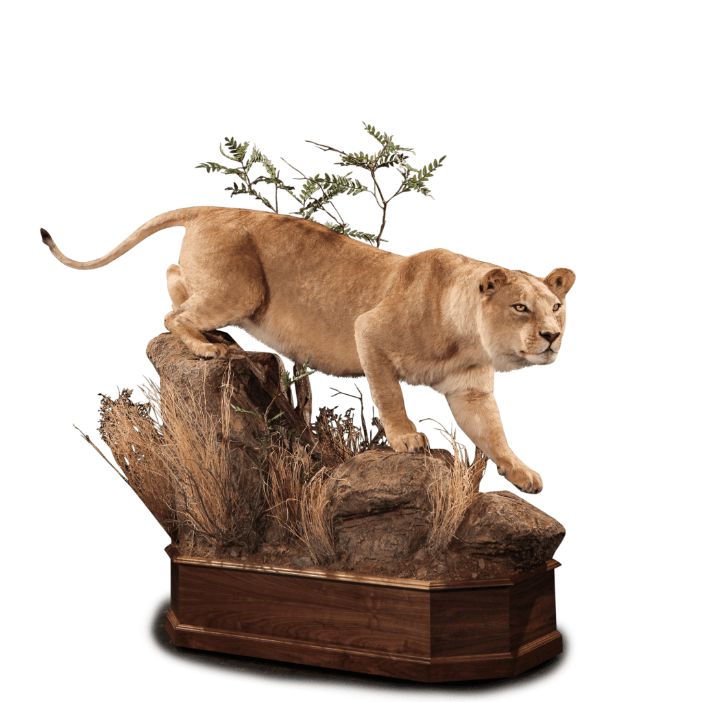 lion on rocks mount