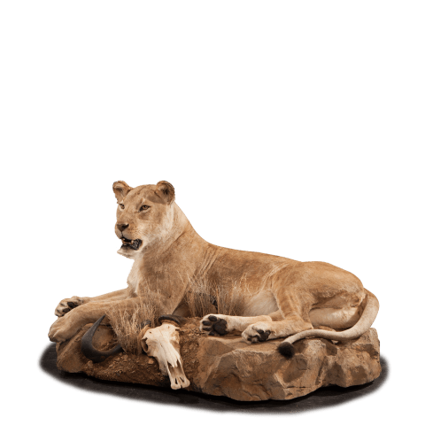 full size lion lying down