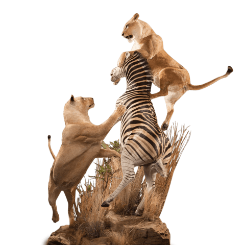 taxidermy of two lions hunting a zebra