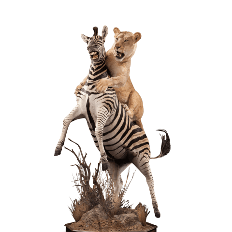 taxidermy of lioness taking down a zebra