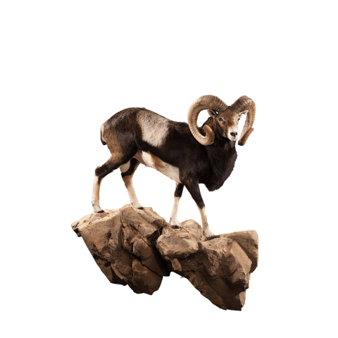 mouflon on rocks taxidermy