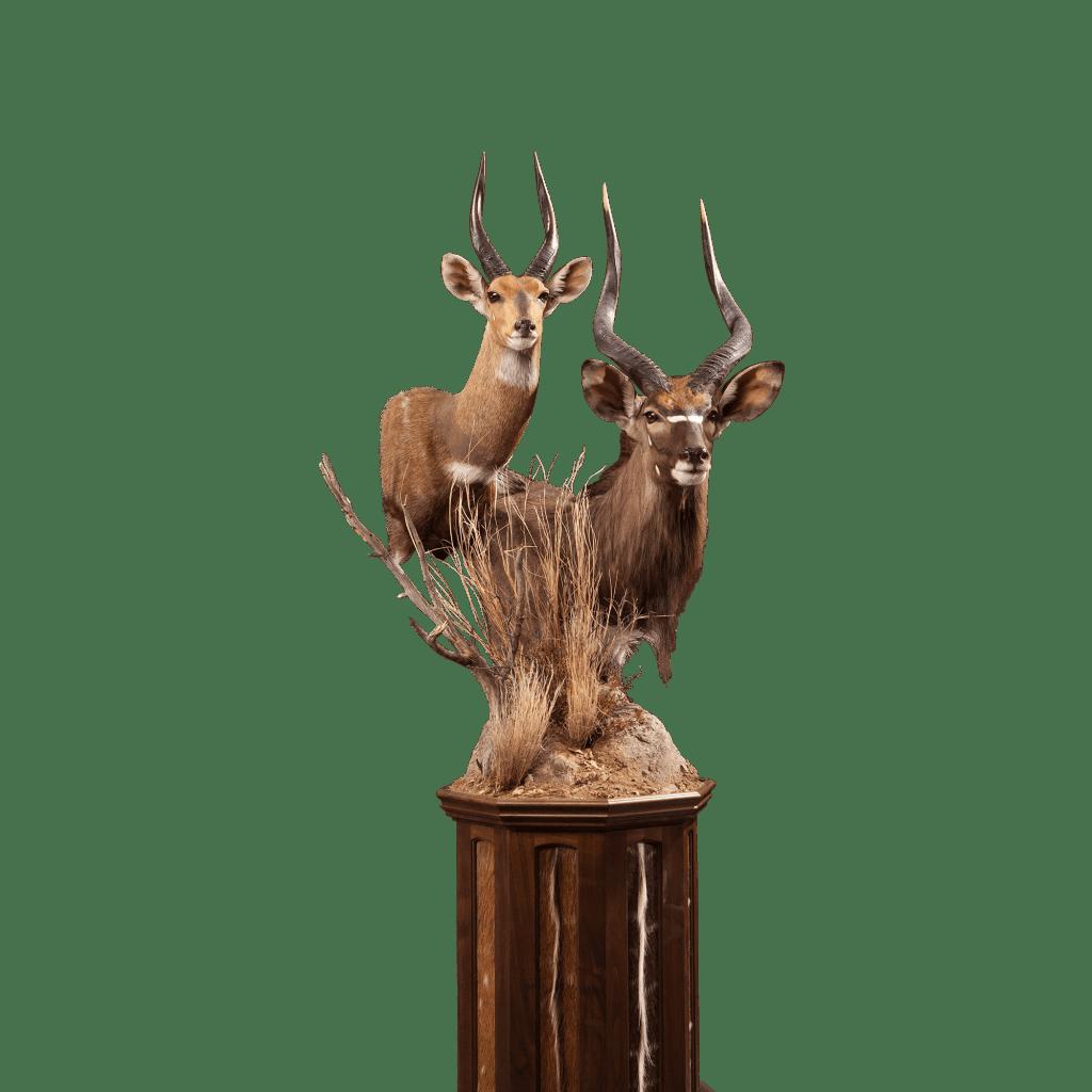 nyala bushbuck shoulder mount