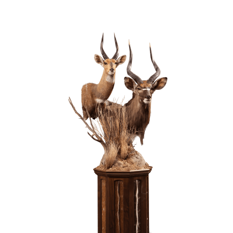 nyala bushbuck shoulder mount