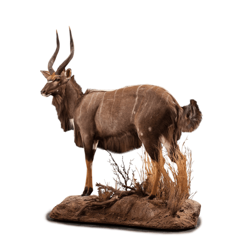 nyala standing pose taxidermy