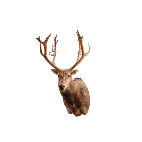 pere david deer shoulder mount