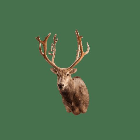 pere david deer shoulder mount