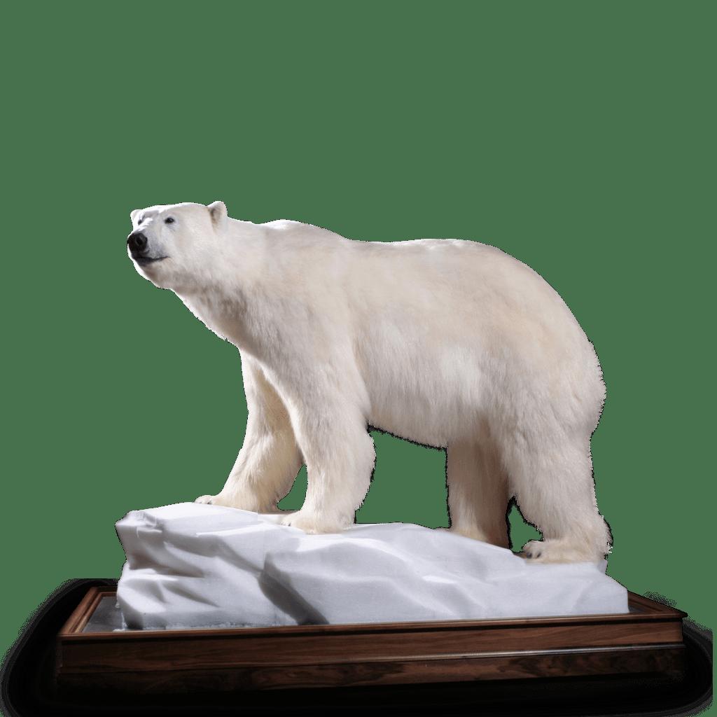 Polar bear life-size mount