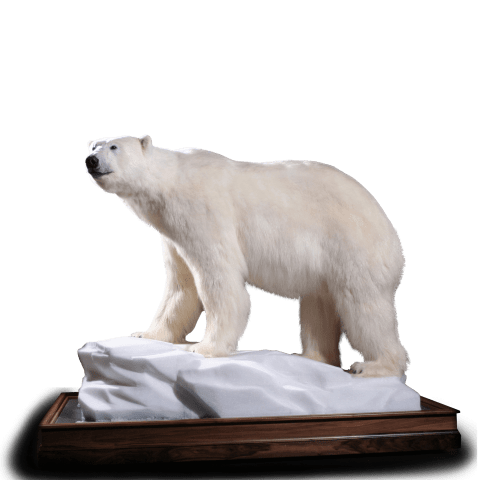 Polar bear life-size mount
