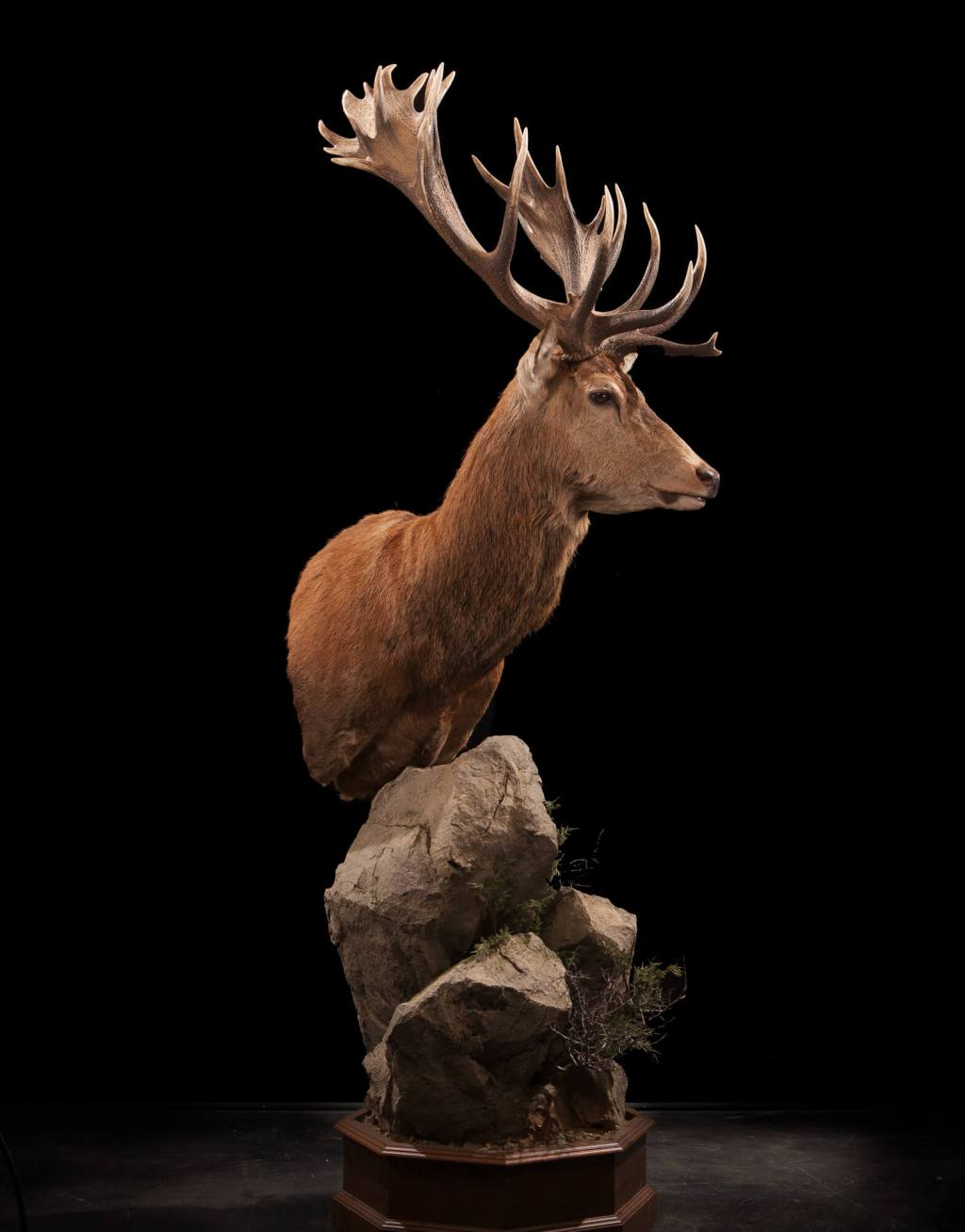 Red Stag Deer taxidermy full view