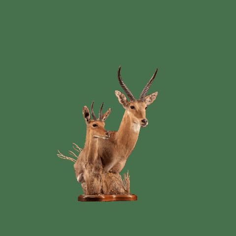 reedbuck shoulder pedestal
