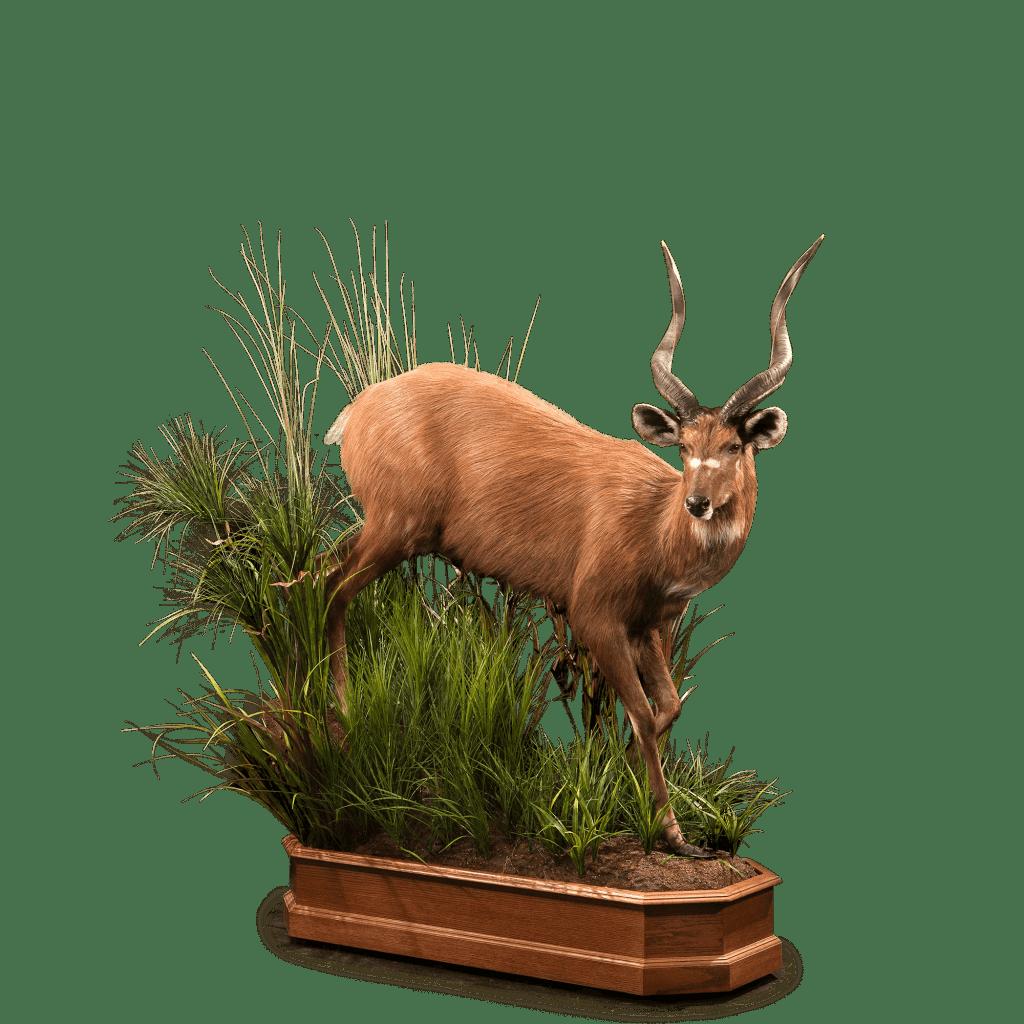 sitatunga in bushes
