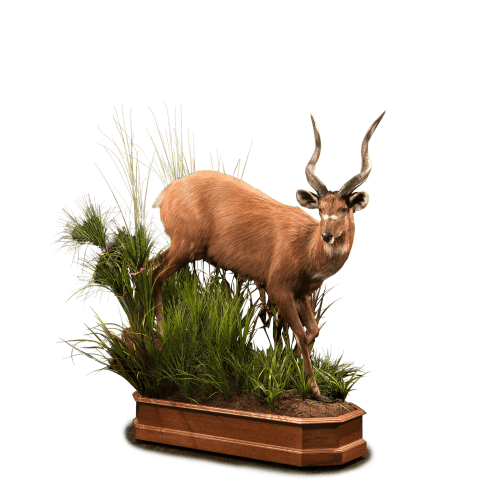 sitatunga in bushes