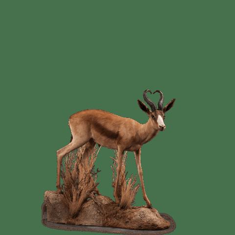 springbok life size taxidermy