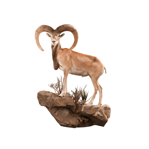 life size urial taxidermy