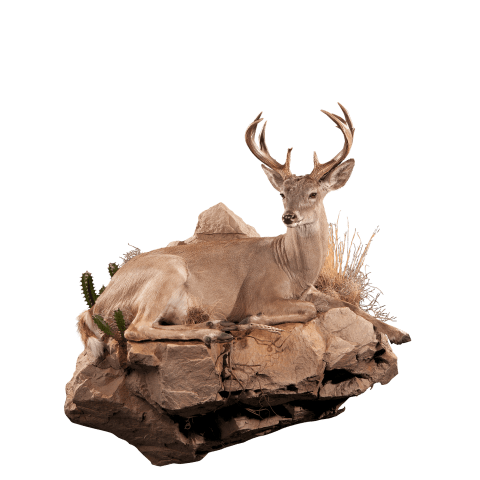 Lifesize whitetail deer taxidermy laying down