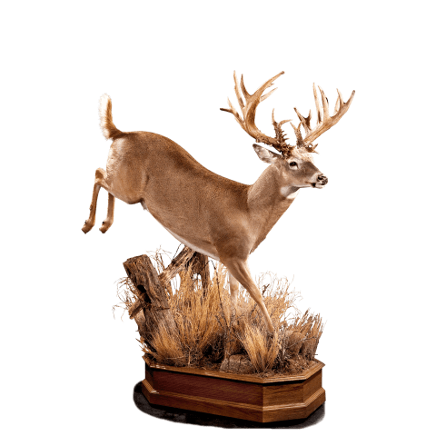 Jumping whitetail deer taxidermy