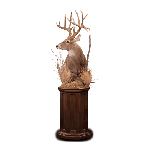 Whitetail deer pedestal taxidermy