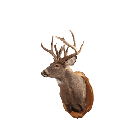 Whitetail deer shoulder plaque
