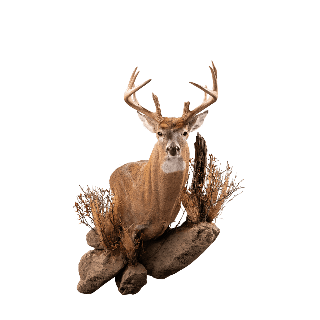 Whitetail shoulder mount on rocks taxidermy