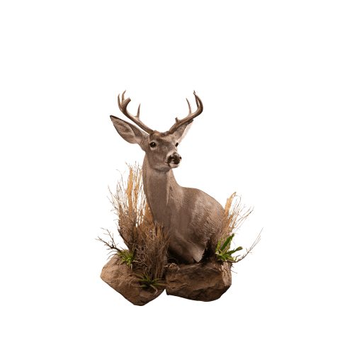 Whitetail wall shoulder mount