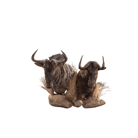 two wildebeest head mounts