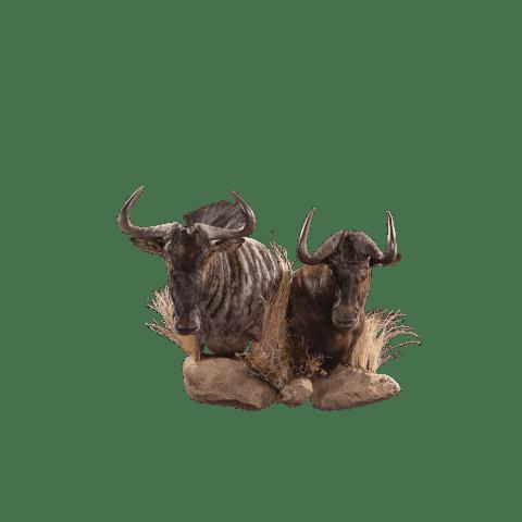 two wildebeest head mounts
