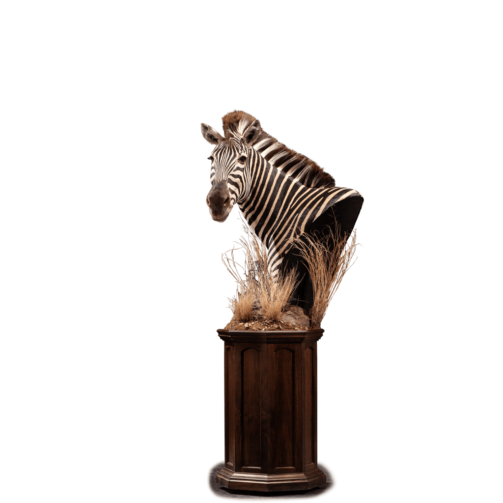 zebra taxidermy pedestal