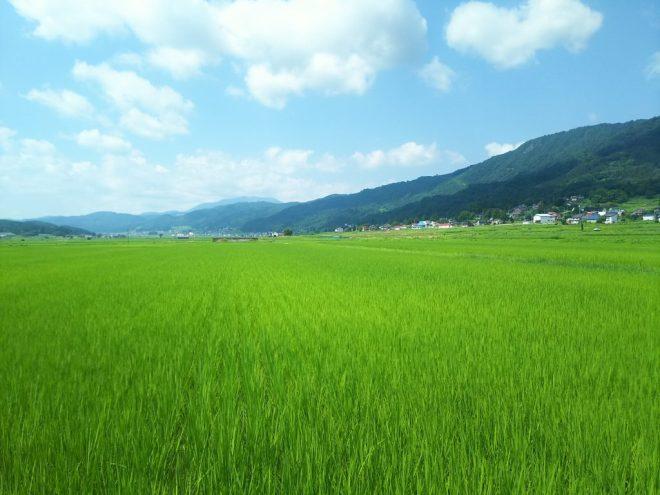 8月1日の田んぼの様子